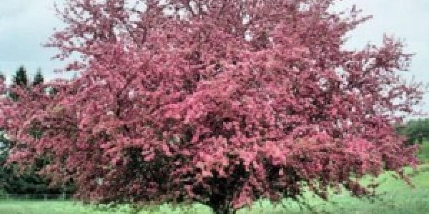 Crab-Apple-Tree-1 in bloom